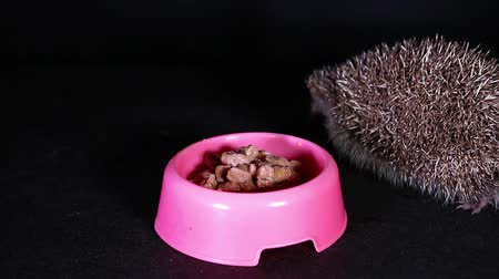 еж : Wild european hedgehog eating domestic cat food
