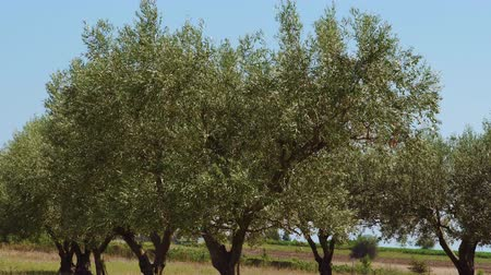 Olive trees plantation close up with waving leaves against blue sky. Day view of evergreen field plantation with wind rocking green tree branches at a natural sunny landscape in Northern Greece. Dostupné videozáznamy