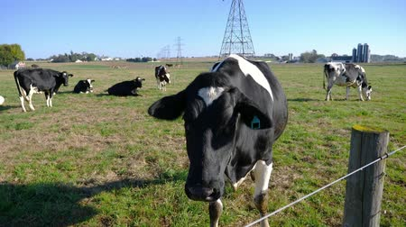 dairy cattle : Amish Farm Cows enjoying a Sunny Day in the Fields