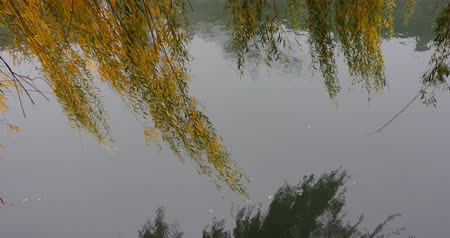 annunciation : willow branches hanging down above the river Ljubljanica in Slovenia