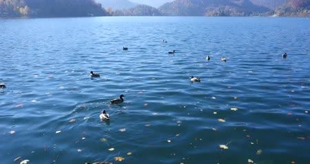 slovenya : ducks on the lake Bled in Slovenia