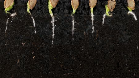 macrobiotic : Germinating pumpkin seed roots underground vew with roots Stock Footage
