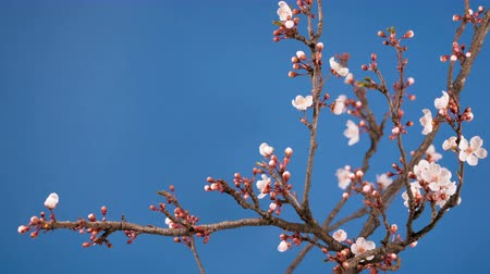 fundo branco : spring sakura pink flower blossoming branch