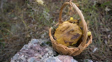 borowik : Wicker basket full of forest mushrooms on nature background