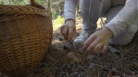 boletus : Mushrooming, woman picking mushrooms in the forest
