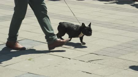 brindle : The French bulldog goes next to the owner