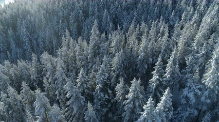 текущий : aerial view of the snow-covered spruce forest Стоковые видеозаписи