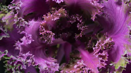 jarmuż : growth of decorative purple cabbage with rotation