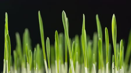 cultivar : Growing green barley grass