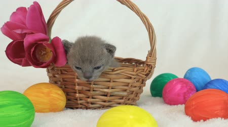 coños : little burmese kitten in a wicker basket among easter eggs