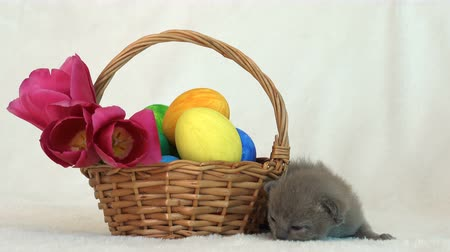 birmânia : small Burmese kitten next to an Easter basket with painted eggs Vídeos