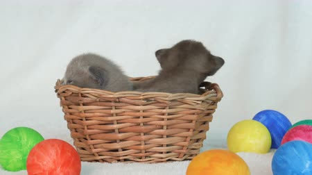 coños : little burmese kittens in a wicker basket among easter eggs