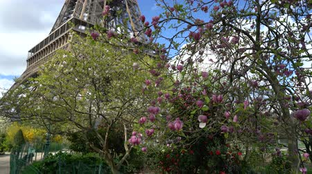 magnólia növény : Blossoming pink magnolia and Eiffel tower.
