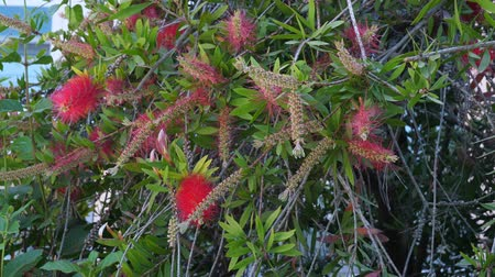 hibiscus : Melaleuca citrina lemon bottlebrush crimson in Greek Island
