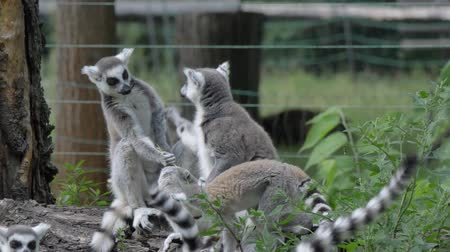 Мадагаскар : Funny animal catta lemur monkey, fighting relaxing on the green grass close view