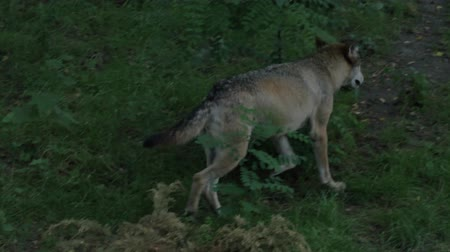 canine teeth : Wild male or female wolf walking or running in the forest green grass summer time close to the trees Stock Footage