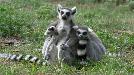 madagaskar : Funny animal family catta lemur monkey, relaxing on the green grass close view