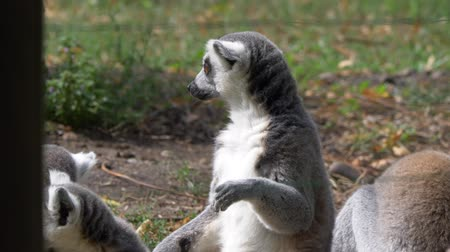 Мадагаскар : Funny animal family catta lemur monkey, relaxing on the green grass close view