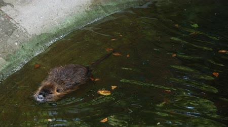 myocastor : Nutria swimming in city water river or fountain closeup view Stock Footage
