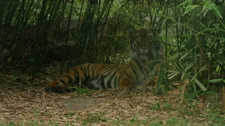 ranthambore national park : Siberian or Indian tiger, Panthera tigris altaica, sleepy relaxinglow angle direct view