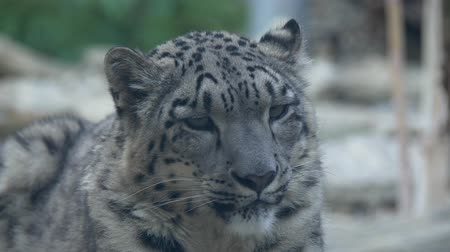леопард : Snow leopard Panthera uncia close up portrait