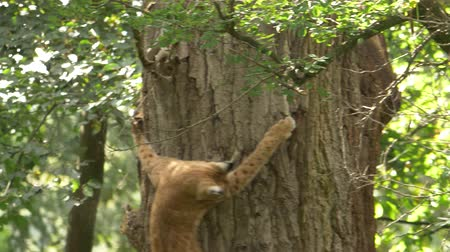 lynx : Adult Lynx hunting jumping on the tree trying to catch squirrel in green forest Stock Footage