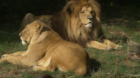 yele : Scenic Close up portrait view couple of Lions relaxing