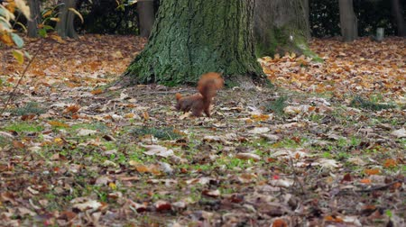 squirrel fur : Beautiful Close up Shot in the Forest. Red Squirrel Eats a Nut autumn time Stock Footage