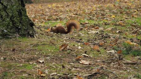 orzech : Beautiful Close up Shot in the Forest. Red Squirrel Eats a Nut autumn time Wideo