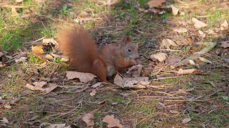 nogueira : Beautiful Close up Shot in the Forest. Red Squirrel Eats a Nut autumn time Vídeos