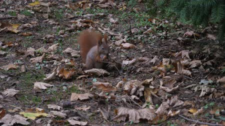 avelã : Beautiful Close up Shot in the Forest. Red Squirrel Eats a Nut autumn time Stock Footage