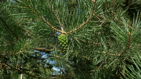through leaves : 4k Beautiful green pine branch of evergreen spruce. Pine tree, sways in the wind. Selective focus. Outdoors. Close-up