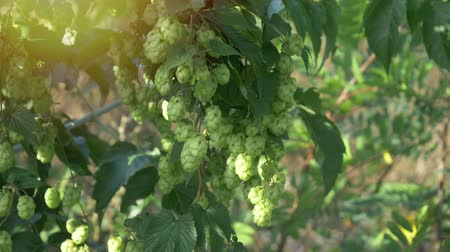 bajor : Scenic sunset with sunflare and rays of green hop humulus in slow motion Stock mozgókép