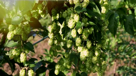 kvaš : Scenic sunset with sunflare and rays of green hop humulus in slow motion Dostupné videozáznamy