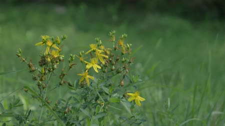 wort : Hypericum perforatum, known as perforate St Johns-wort, common Saint Johns wort and St Johns wort with bugs and fly