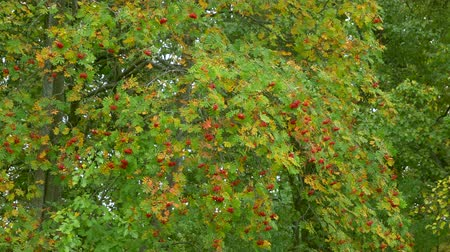 üvez ağacı : Beautiful rowanberry, sorb, wild ash rowan in autumn colors green yellow orange in cloudy day