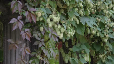 hops : Close up green hop humulus in slow motion Stock Footage