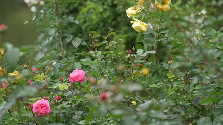 neobdělávaný : Wild roses different colors with juicy green leaves close up view slow motion moving