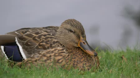 鳥類学 : Beautiful Wild Duck sitting in green grass Close up Portrait view looking stright to camera bliking eyes