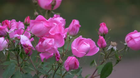 невозделанный : Wild roses different colors with juicy green leaves close up view slow motion moving