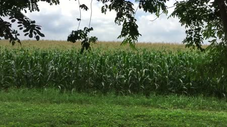 Man in the car recording corn field in countryside.