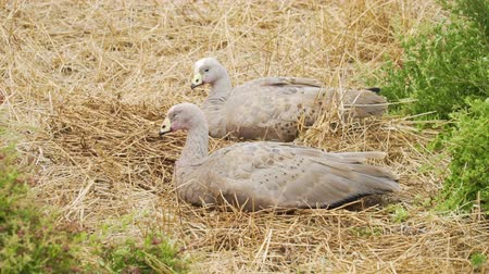husy : Cape Barren goose, Cereopsis novaehollandiae, sleeping in Nobbies centre in Australia Dostupné videozáznamy