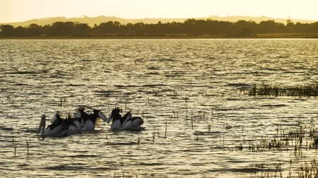 senki : Pelican Pelecanus conspicillatus swimming at sunset on a lake in Australia