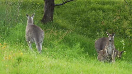 wallaby : Kangaroo jumping and running away in the grass in Australia