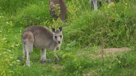 Baby kangaroo quietly eating grass in the wild in Australia Stock Footage