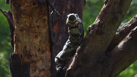 Close up shot of a goanna Varanus varius looking left and right in a tree in Australia Стоковые видеозаписи