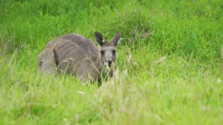 Eastern grey kangaroo Macropodidae hiding in the grass in Australia Stock Footage