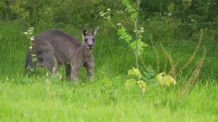 Gigantic and strong Eastern grey kangaroo flexing its muscles in Australia