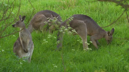 Three kangaroos eating grass in Australia in the summer Стоковые видеозаписи