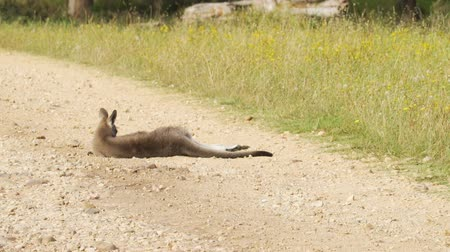 Wounded kangaroo hit by a car lying on the road in Australia